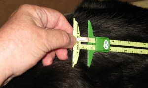 Flatten the ribbon and measure the length required for the buttonhole (my cat, Beau, decided to help me!)